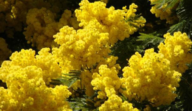 23. siječnja se obilježava Dan mimoza